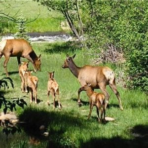 mamma and baby elk on a walk