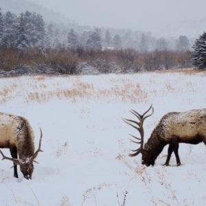 Elk graze in the meadows in winter