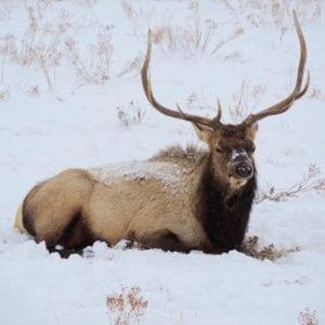 Elk rests during winter