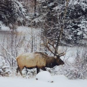 Elk walking on the property