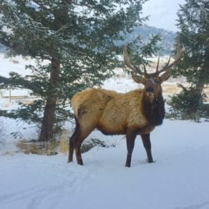 Elk in the winter