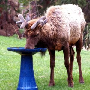 Elk getting a drink