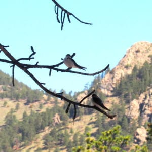 swallows in the trees