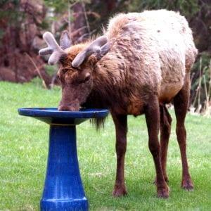 Elk drinking from bird bath