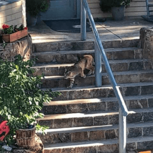 Bobcat on the stairs